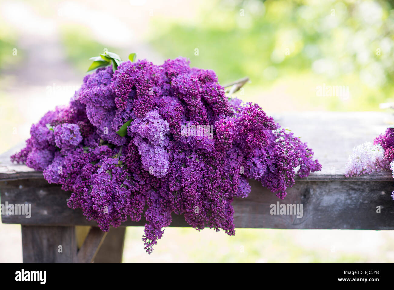 Cut stems of lilac blossoms (Syringa vulgaris) in spring - Stock Image