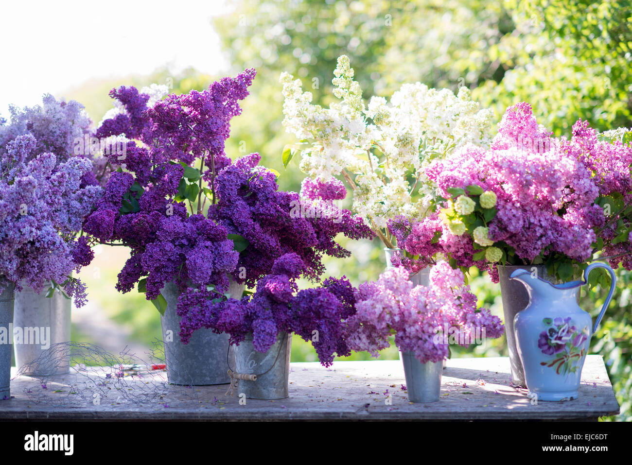 Cut stems of lilac blossoms (Syringa vulgaris)  and Snowball Bush (Viburnum opulus 'Roseum') in spring - Stock Image