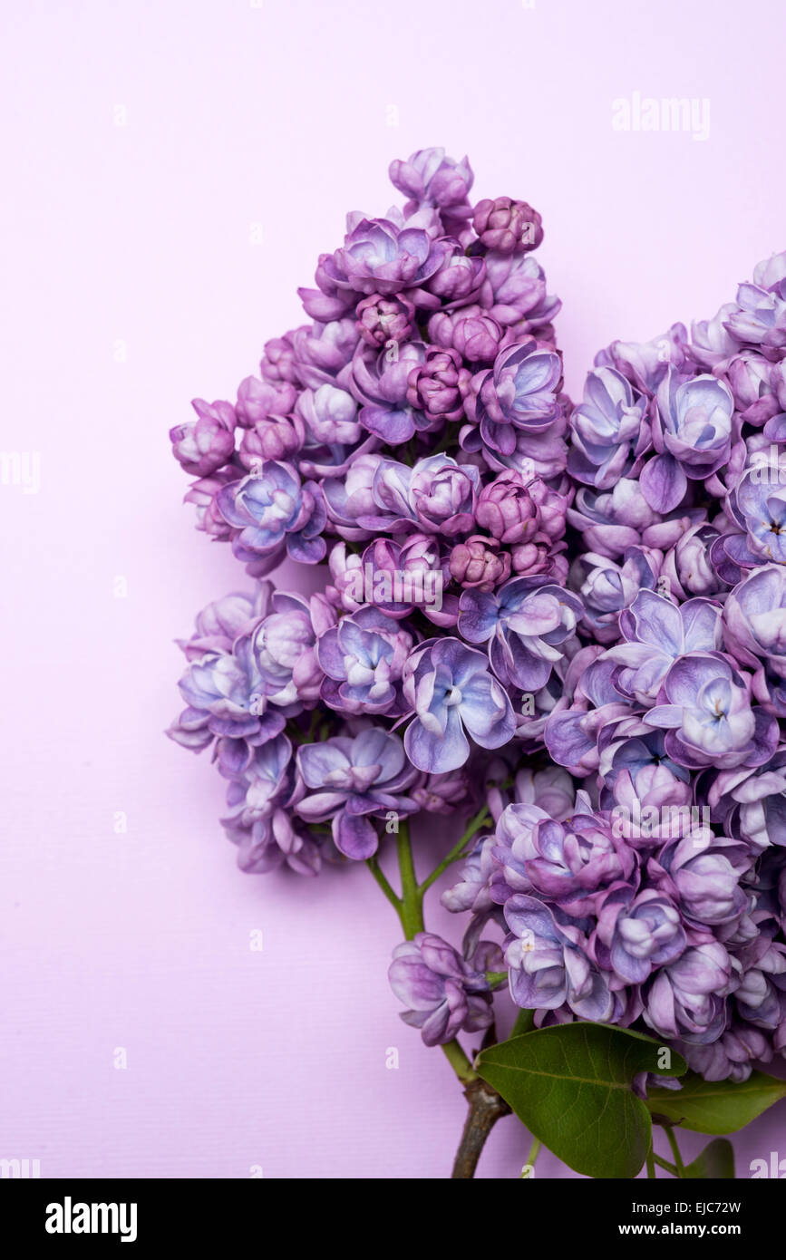 Double Lilac (Syringa vulgaris) Alice Christiansen - Stock Image