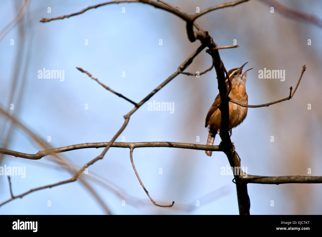 Warbler singing in the warm early morning sunlight. - Stock Image