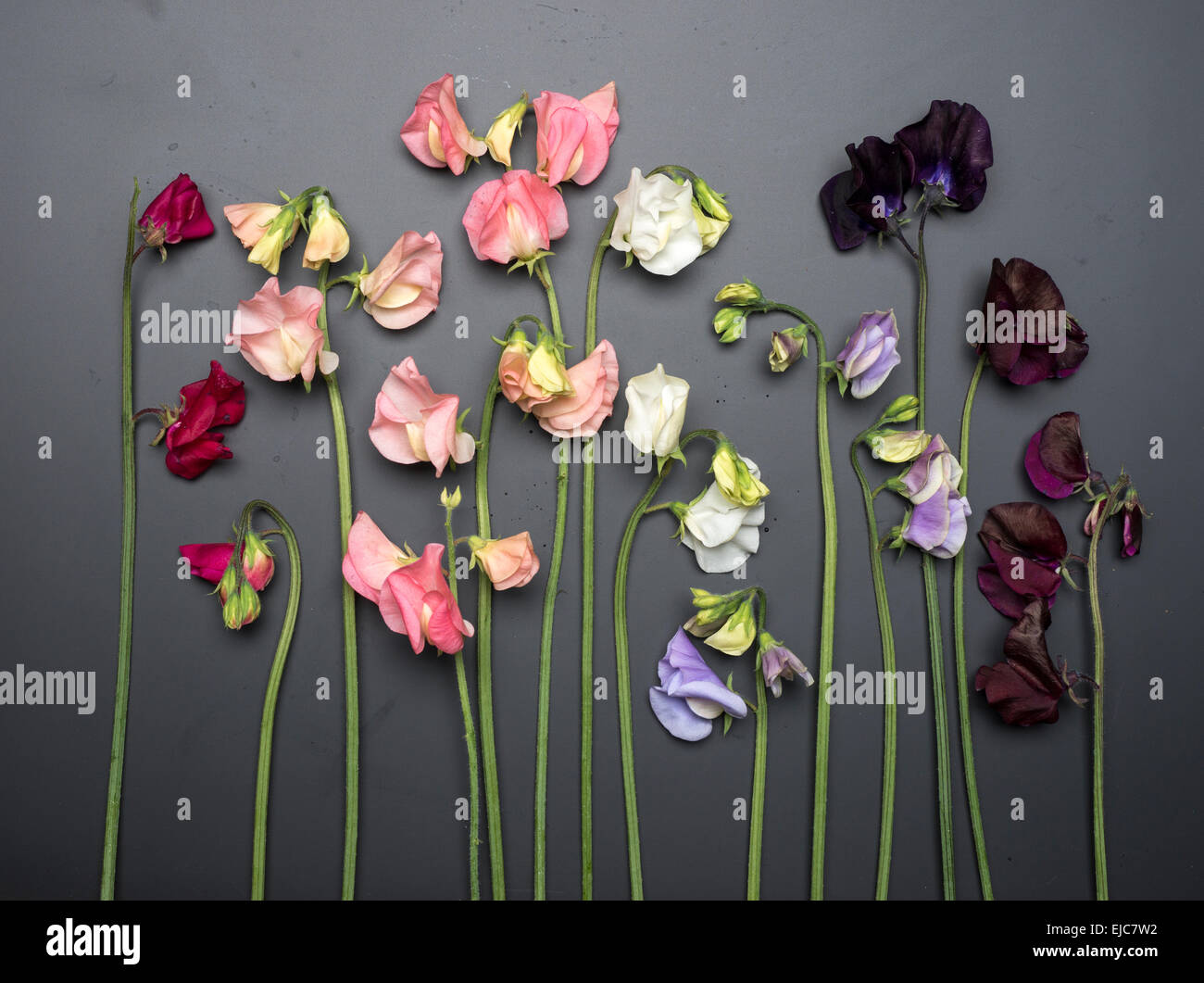 Cut Sweet Peas on Chalkboard Background - Stock Image