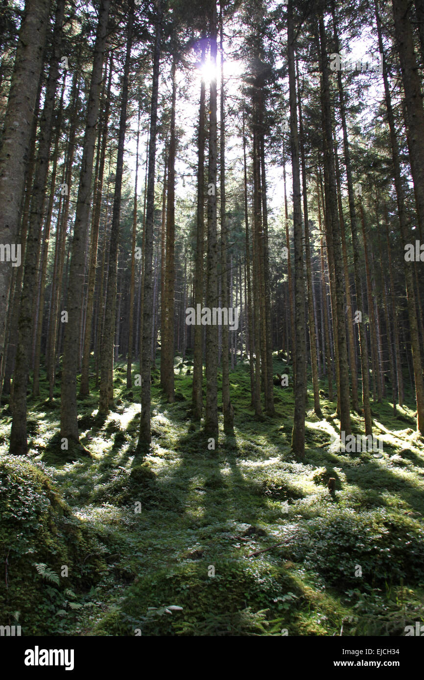 conifer forest - Stock Image