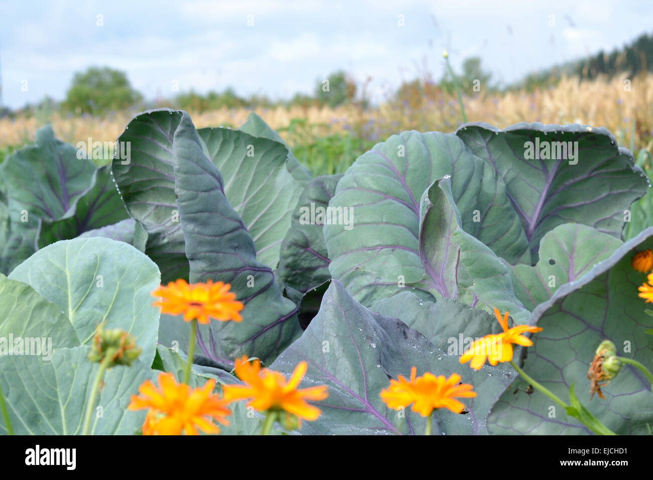 White herb on field - Stock Image