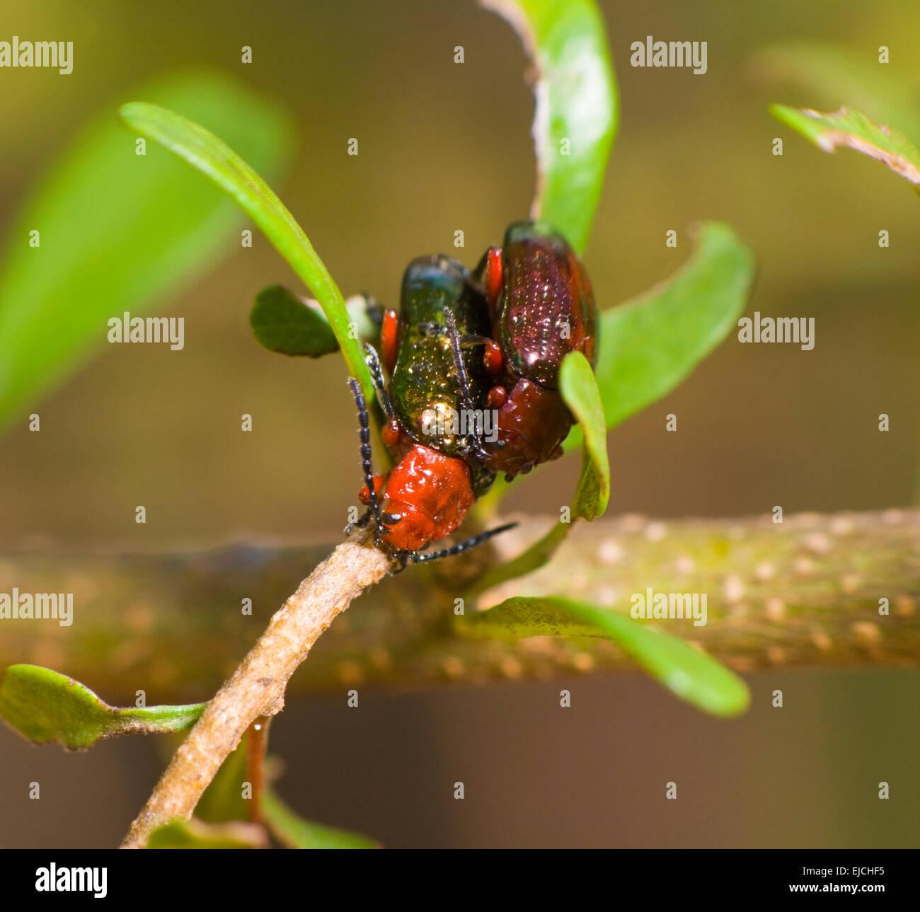 Australian Beetles Stock Photos Amp Australian Beetles Stock