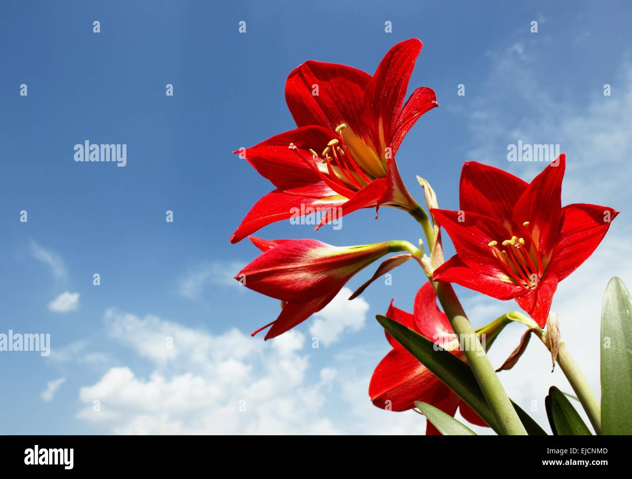 Big Red Amaryllis Lily Flowers against Sky - Stock Image