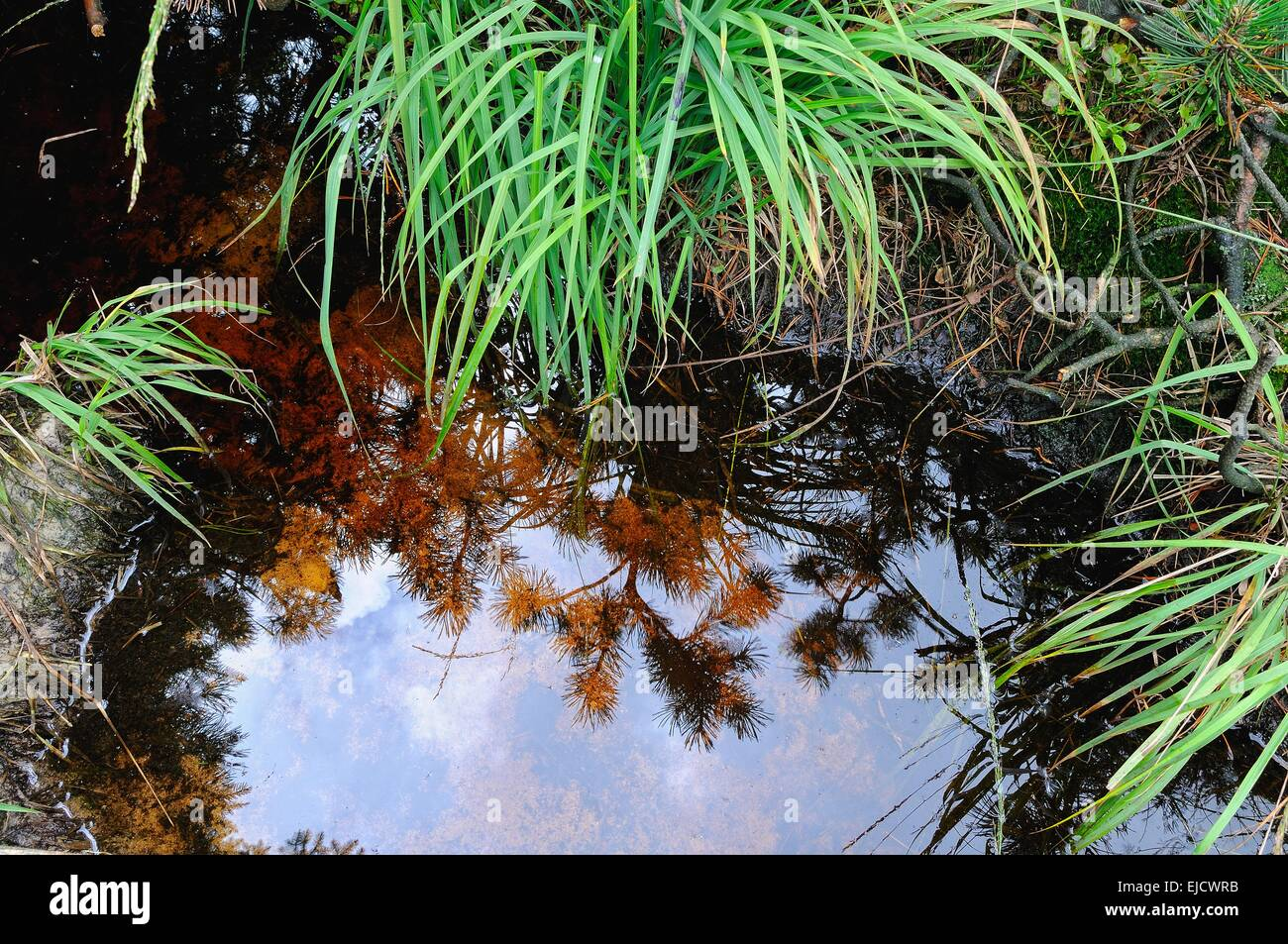 mirrored in the bog water Stock Photo