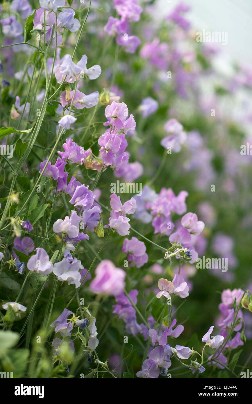 Sweet Pea (Lathyrus odoratus) Ethel Grace - Stock Image