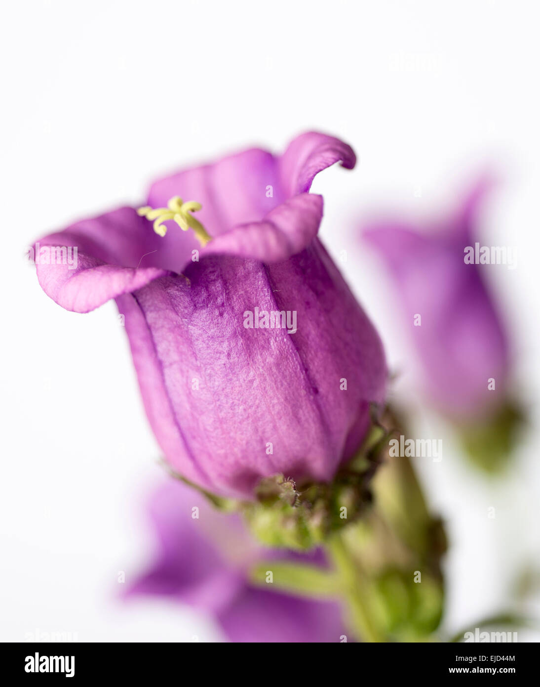 Annual flower Campanula, known as Bellflower or Canterbury Bells - Stock Image