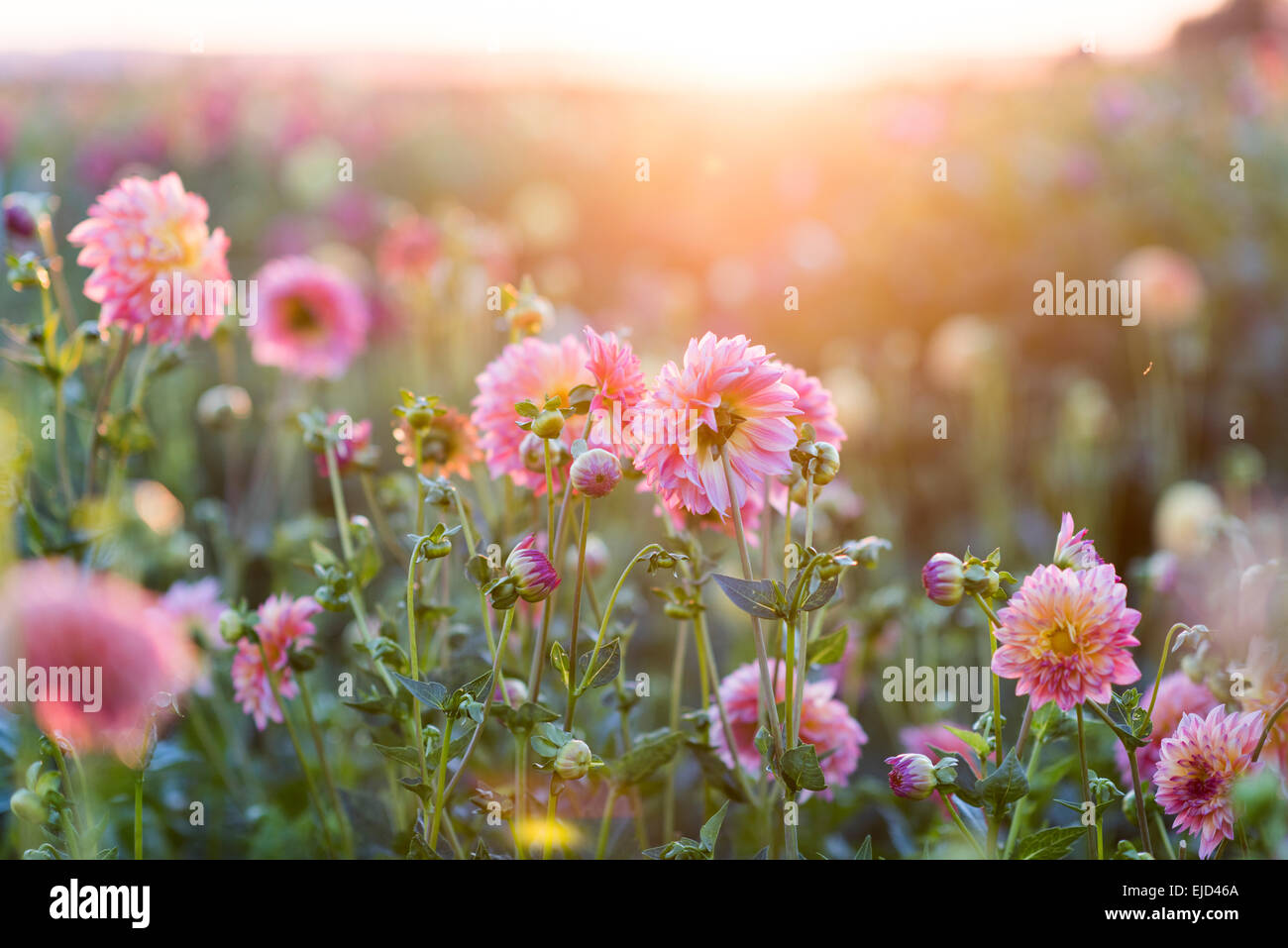 Dahlias growing in field with sunset behind in late summer - Stock Image
