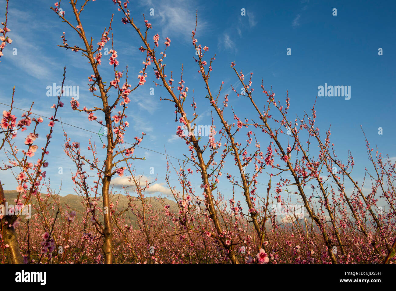 Fruit tree blossoms at the base of the Winterhoek Mountains, Tulbagh, South Africa - Stock Image