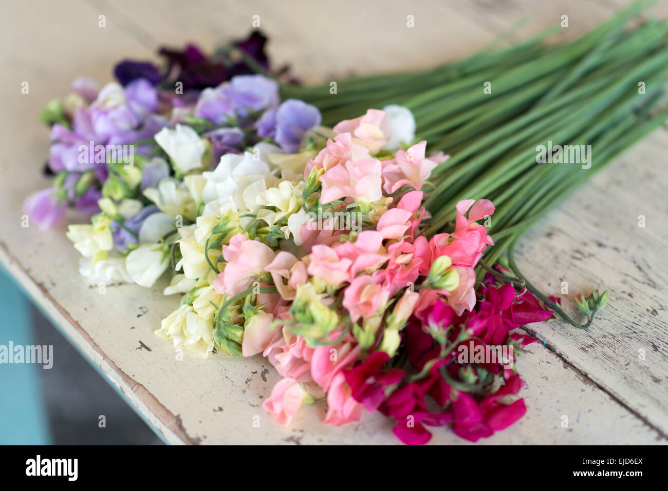 Sweet Peas Lathyrus odoratus Dynasty Spring Sunshine Peach Spring Sunshine Champagne Jilly White Supreme Winter - Stock Image