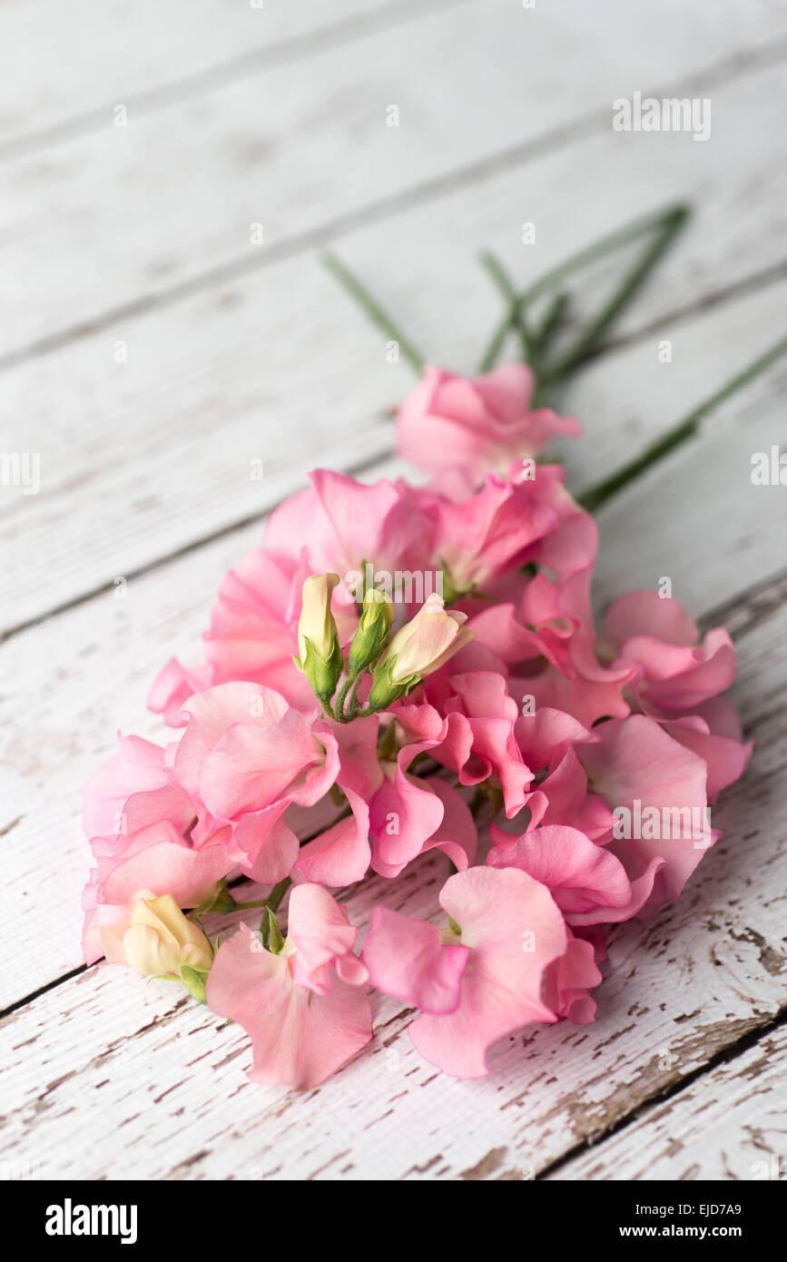 Sweet Pea (Lathyrus odoratus) Winter Sunshine Pink - Stock Image