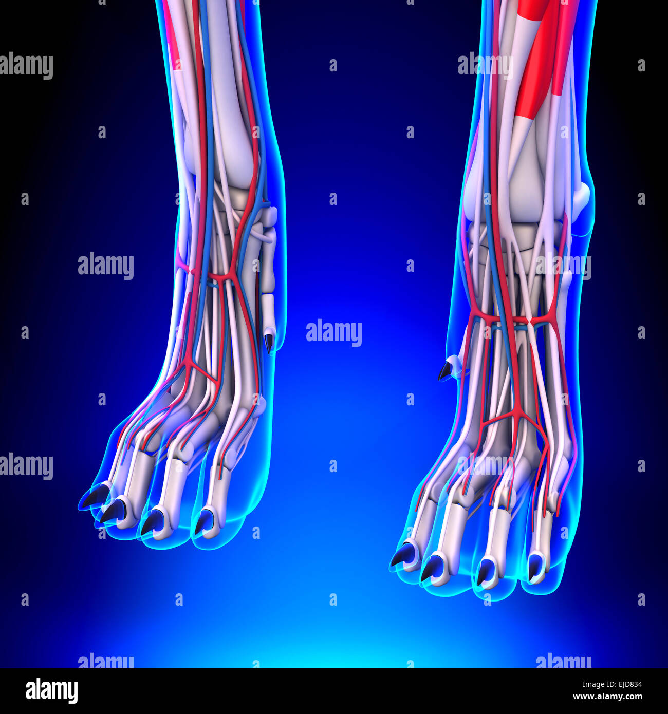 Dog Front Legs Anatomy with Circulatory System Stock Photo: 80197016 ...