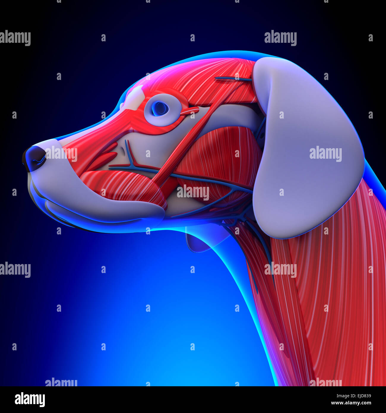 Dog Muscles Anatomy - Anatomy of a Male Dog Muscles Stock Photo ...