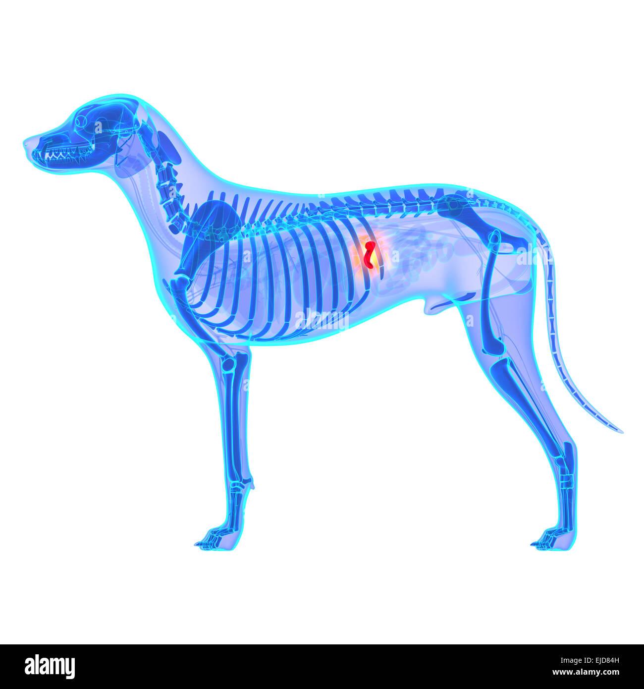 Dog Gallbladder Anatomy - Canis Lupus Familiaris Anatomy - isolated ...