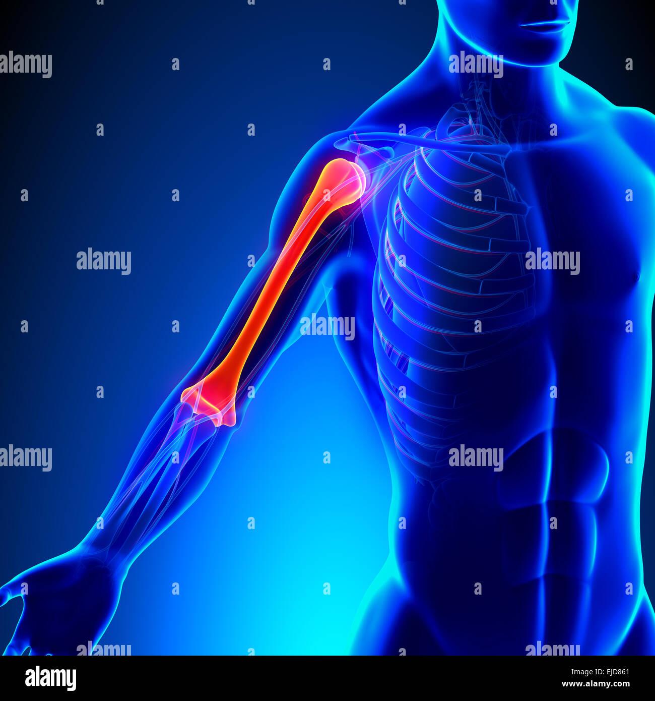 Humerus Anatomy with Circulatory System Stock Photo: 80197097 - Alamy