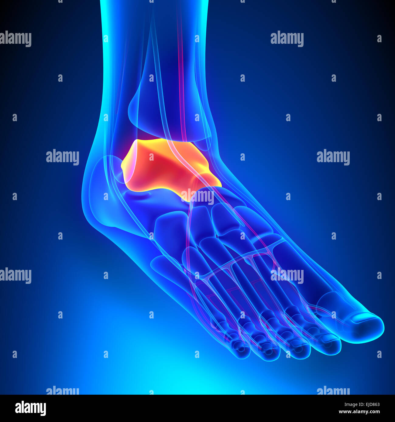 Talus Bone Anatomy with Circulatory System Stock Photo: 80197099 - Alamy