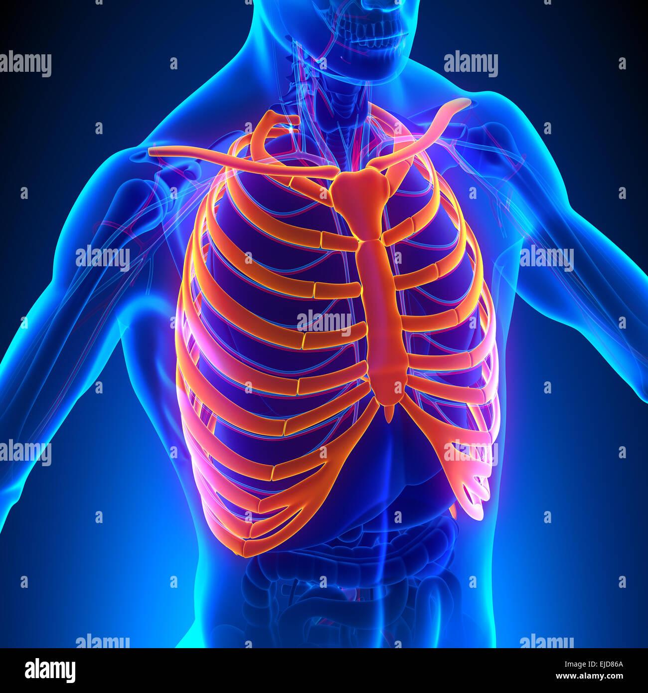 Rib Cage Anatomy Bones with Circulatory System Stock Photo: 80197106 ...
