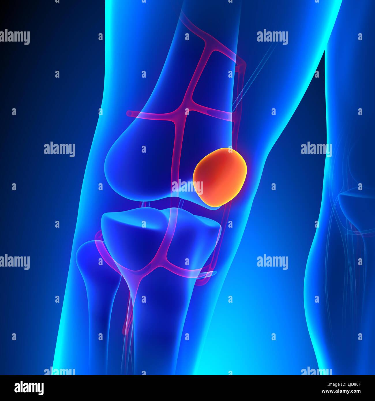 Patella Anatomy Knee Bone with Ciculatory System Stock Photo ...