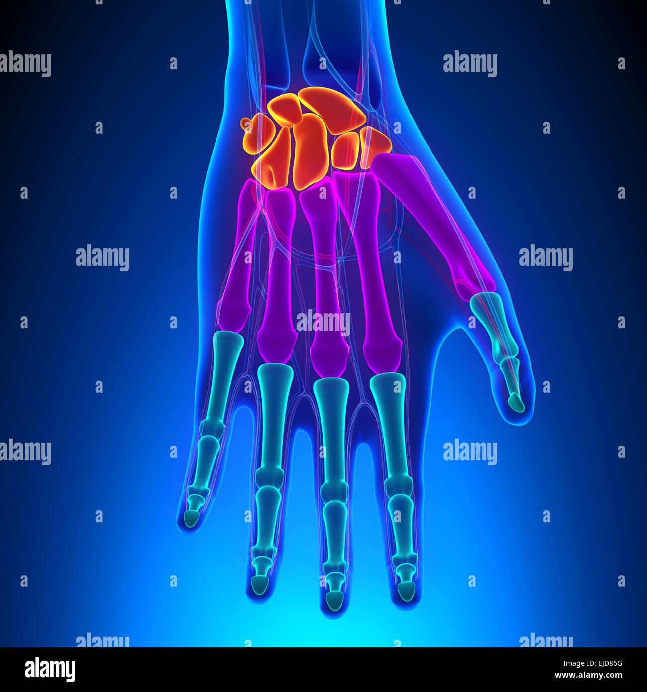Anatomy Of Human Hand And Wrist With Circulatory System Stock Photo