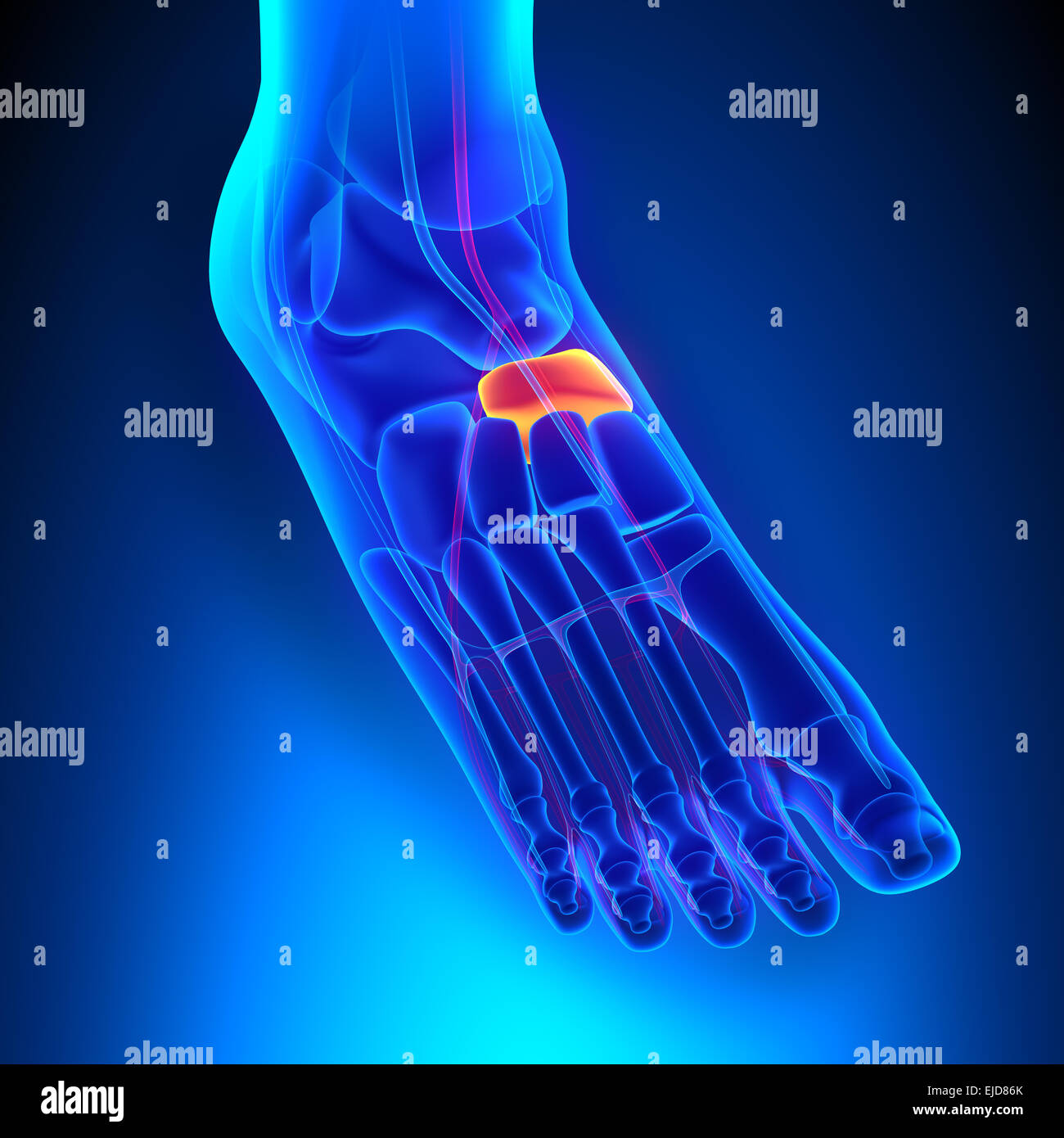 Navicular Bone Anatomy with Circulatory System Stock Photo: 80197115 ...