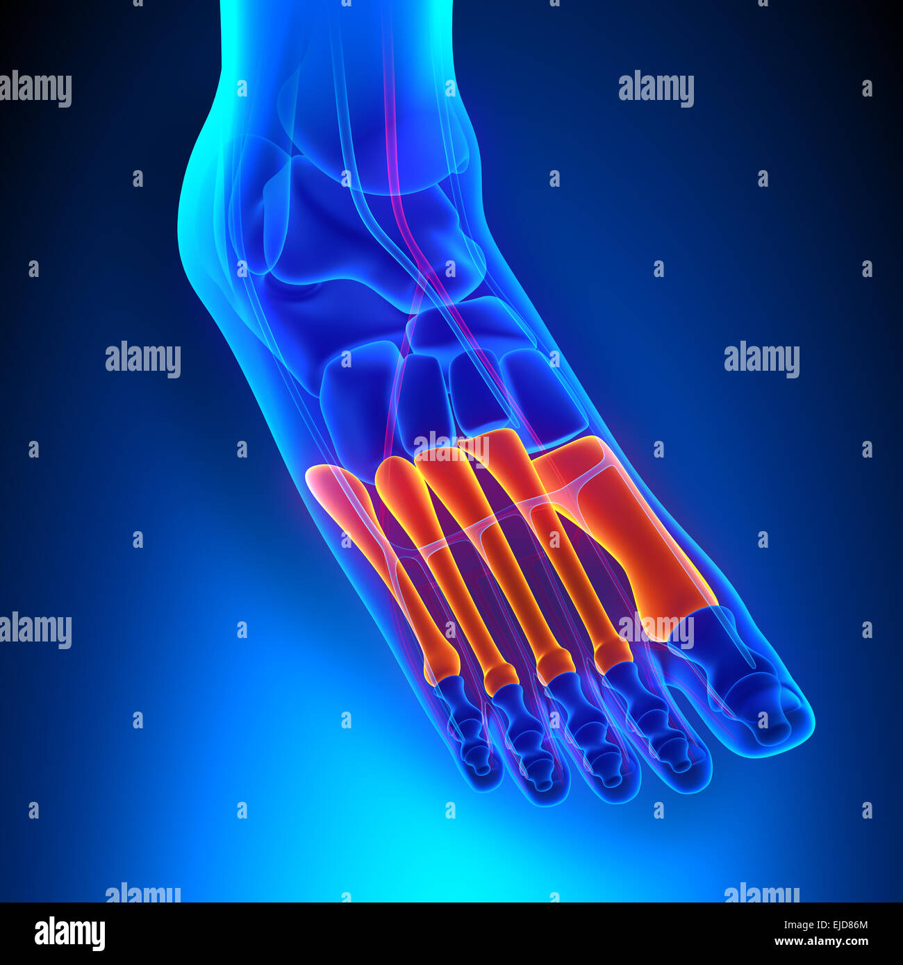 Metatarsals Bones Anatomy with Circulatory System - Stock Image