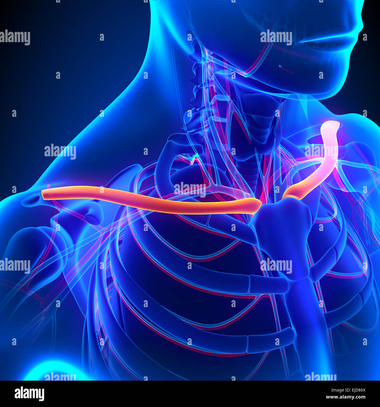 Clavicle Bone Anatomy with Circulatory System Stock Photo: 80197122 ...