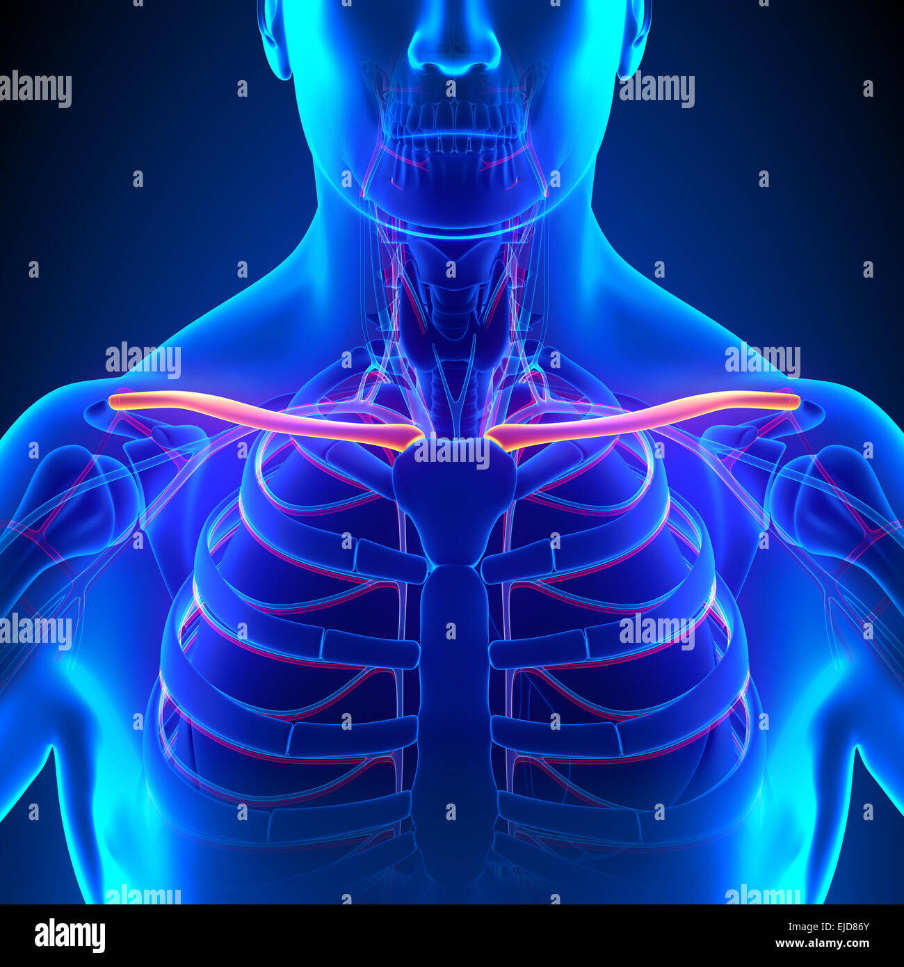Clavicle Bone Anatomy With Circulatory System Stock Photo 80197123