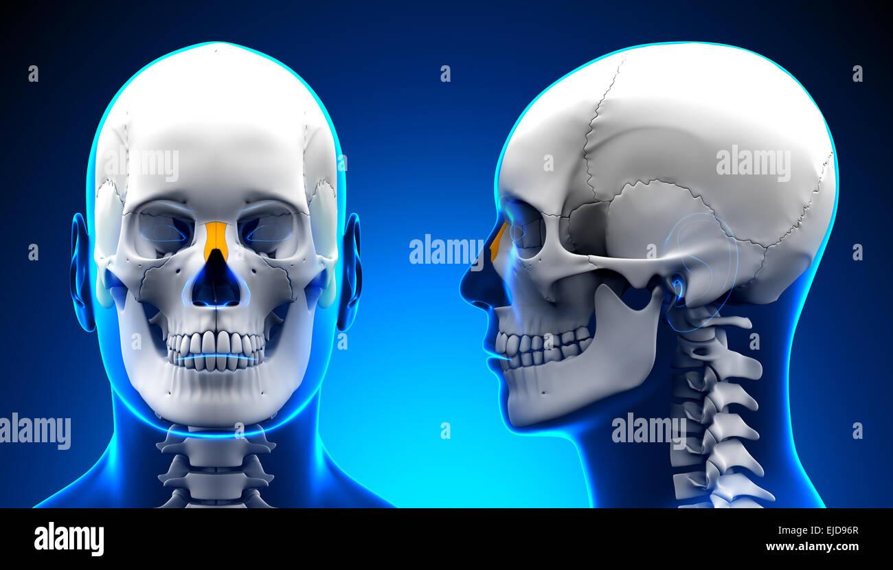 Nasal Bone Stock Photos Nasal Bone Stock Images Alamy