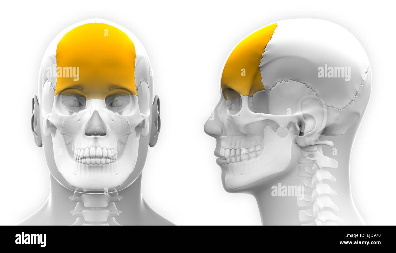 Male Frontal Bone Skull Anatomy - isolated on white Stock Photo ...