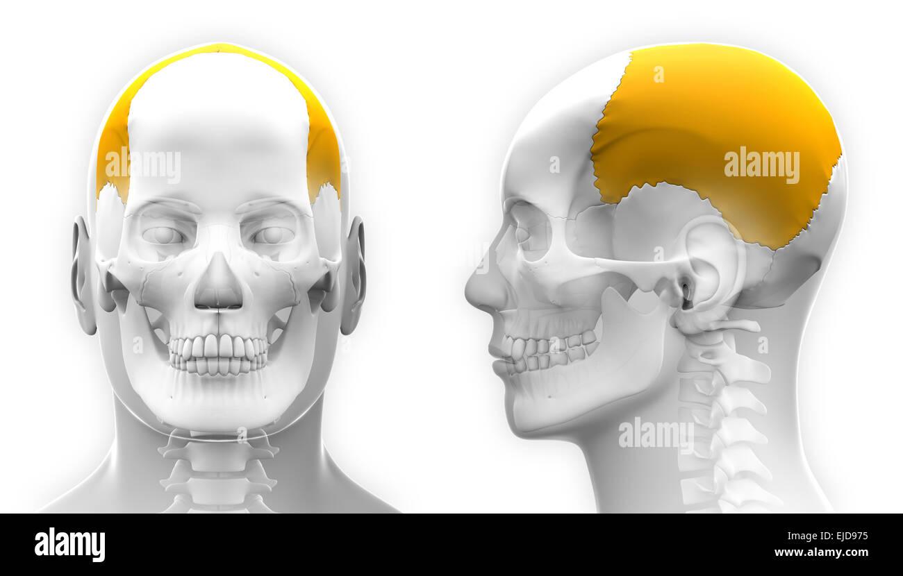 Parietal Bone Cut Out Stock Images Pictures Alamy
