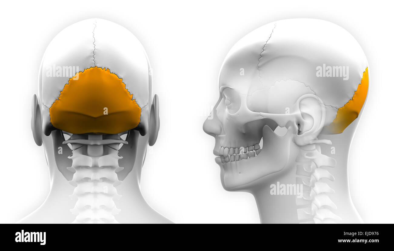 Male Occipital Bone Skull Anatomy - isolated on white Stock Photo ...