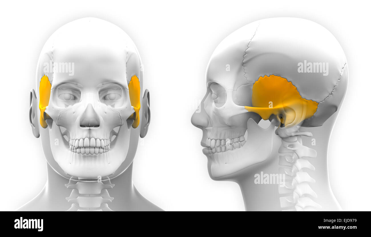 Male Temporal Bone Skull Anatomy - isolated on white Stock Photo ...