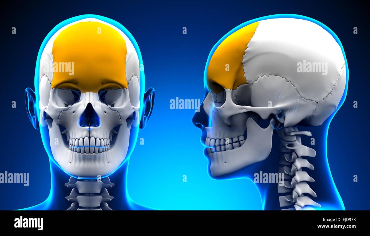 Female Frontal Bone Skull Anatomy - blue concept Stock Photo ...