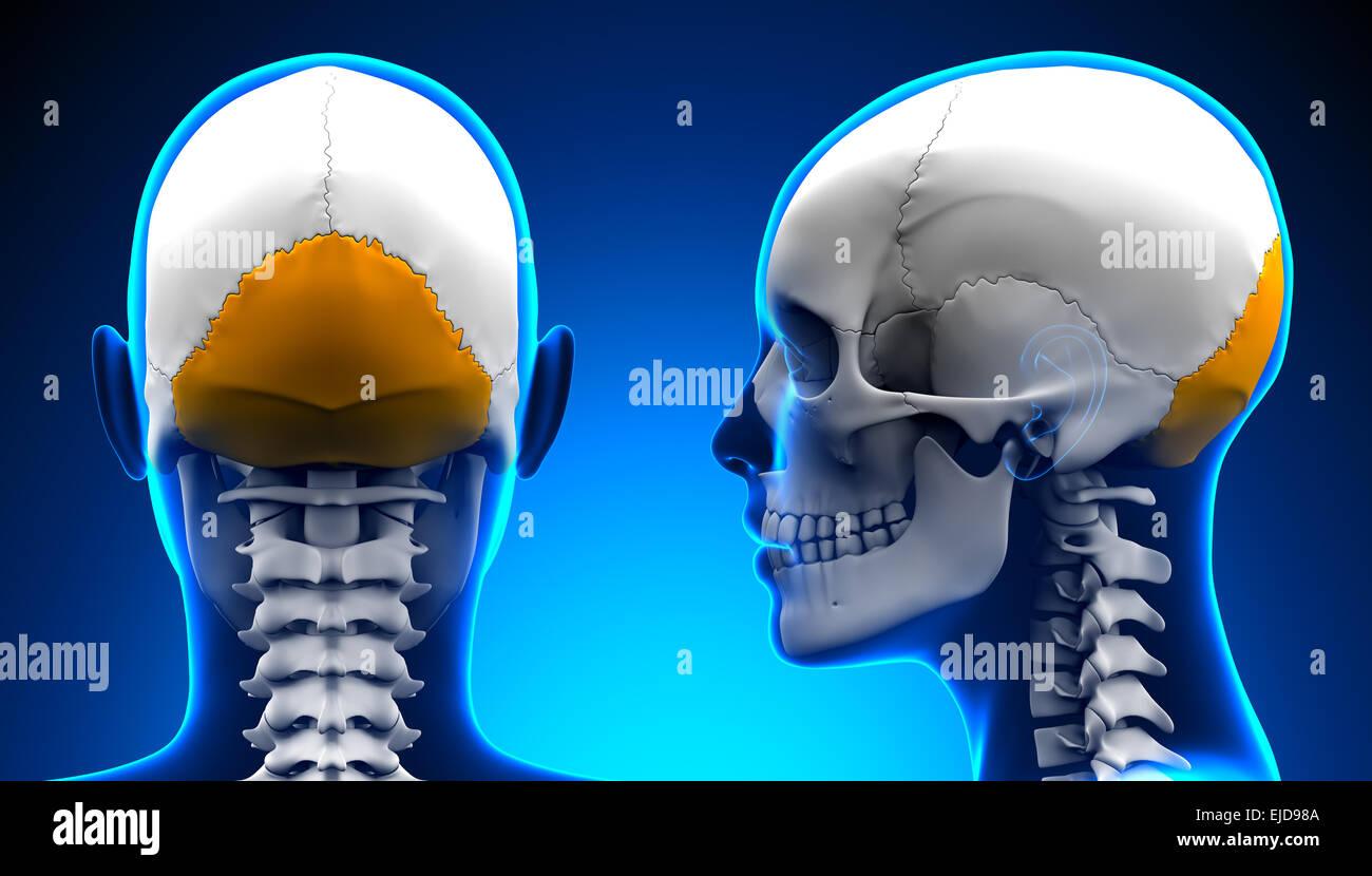 Occipital Bone Stock Photos Occipital Bone Stock Images Alamy
