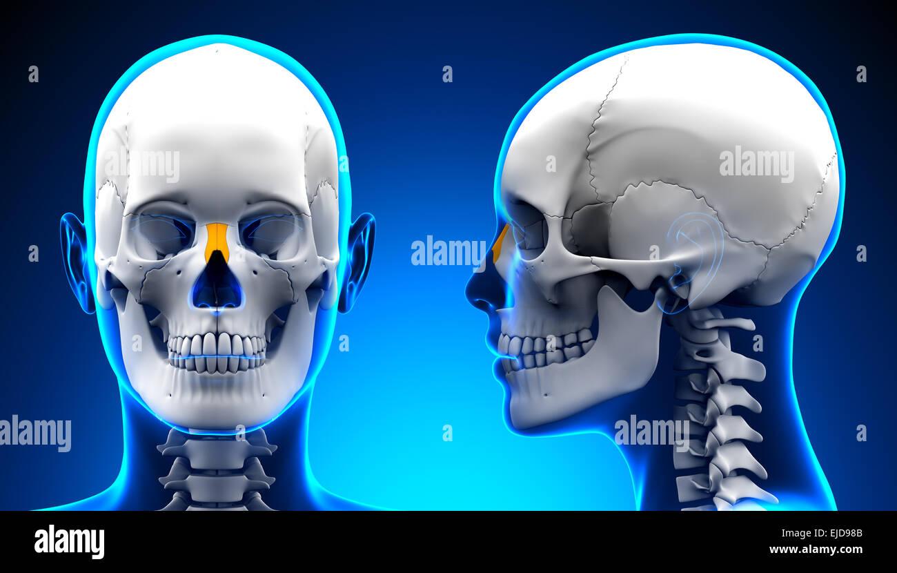 Female Nasal Bone Skull Anatomy - blue concept Stock Photo: 80197947 ...