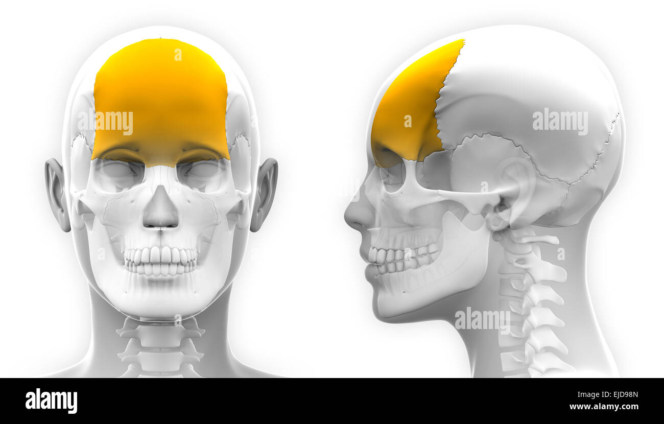 Female Frontal Bone Skull Anatomy - isolated on white Stock Photo ...