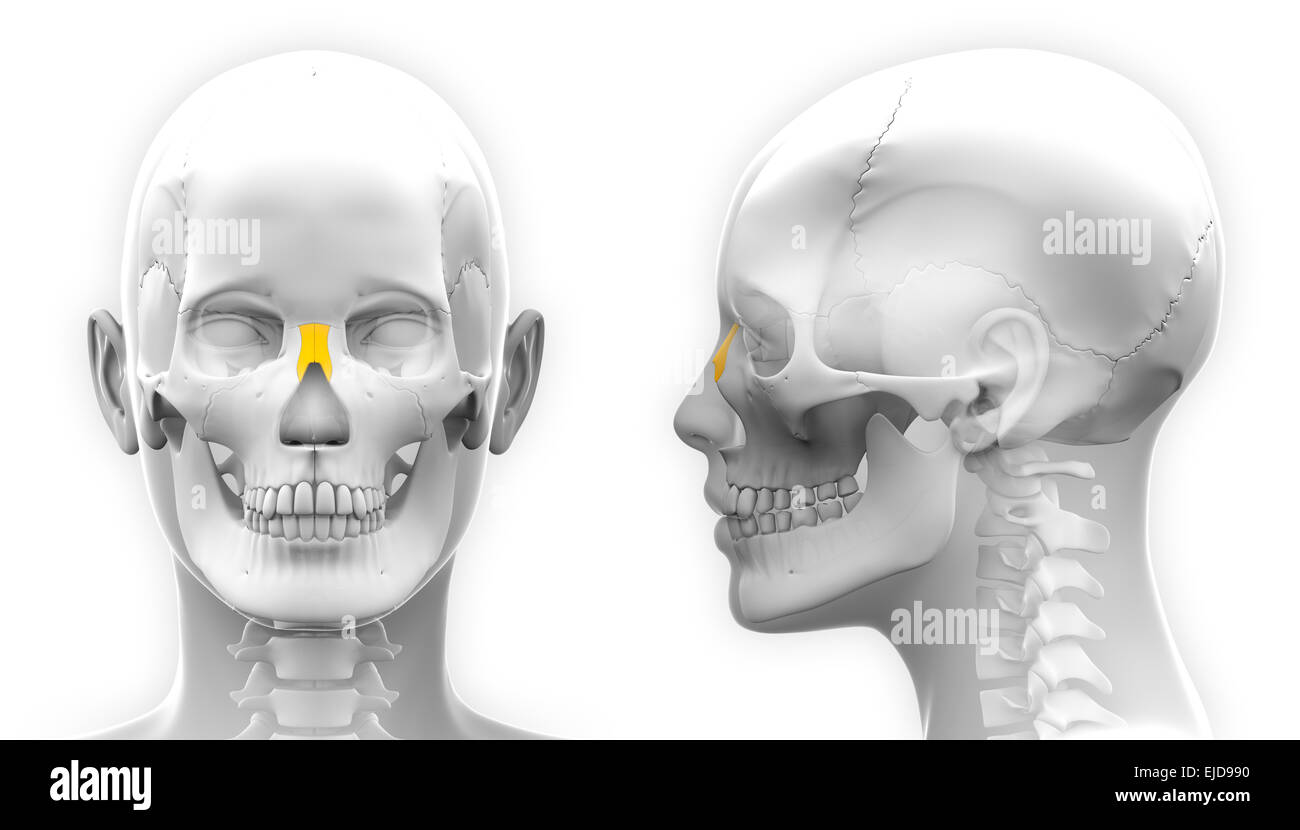 Female Nasal Bone Skull Anatomy - isolated on white Stock Photo ...