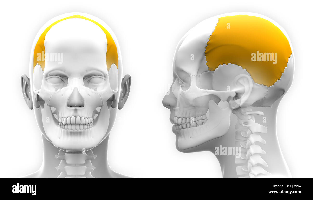 Female Parietal Bone Skull Anatomy - blue concept Stock Photo ...