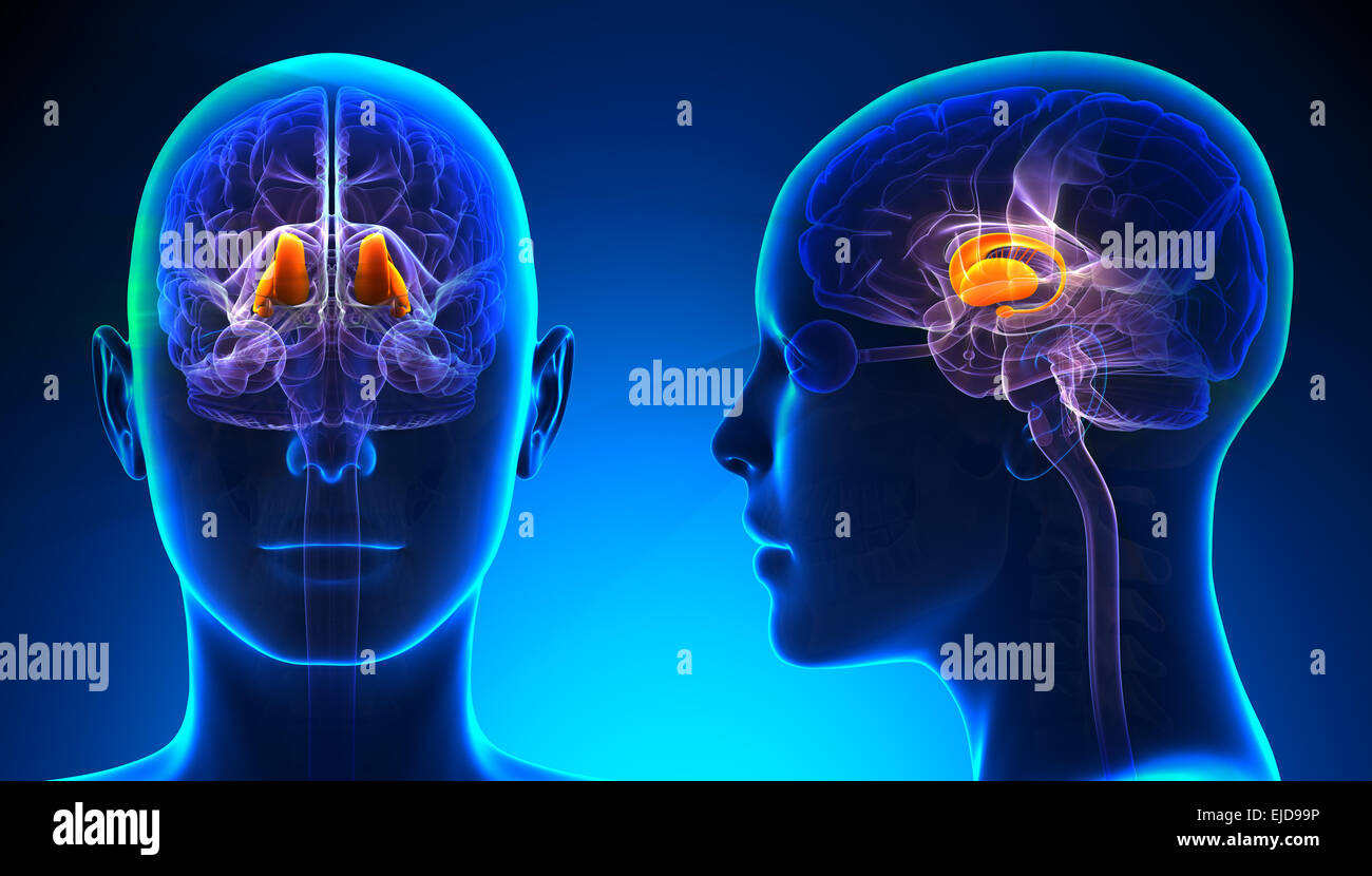 Female Thalamus Brain Anatomy - blue concept - Stock Image