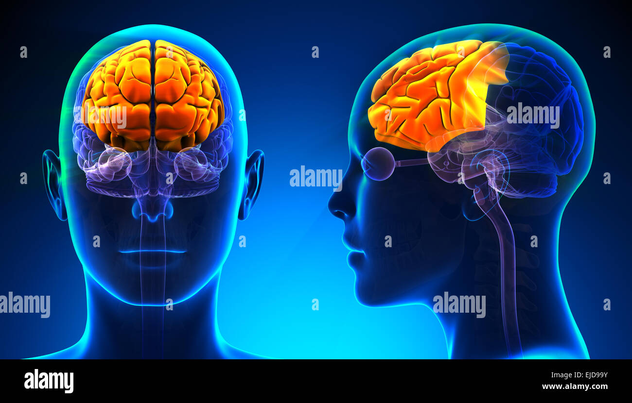 Female Frontal Lobe Brain Anatomy - blue concept Stock Photo ...