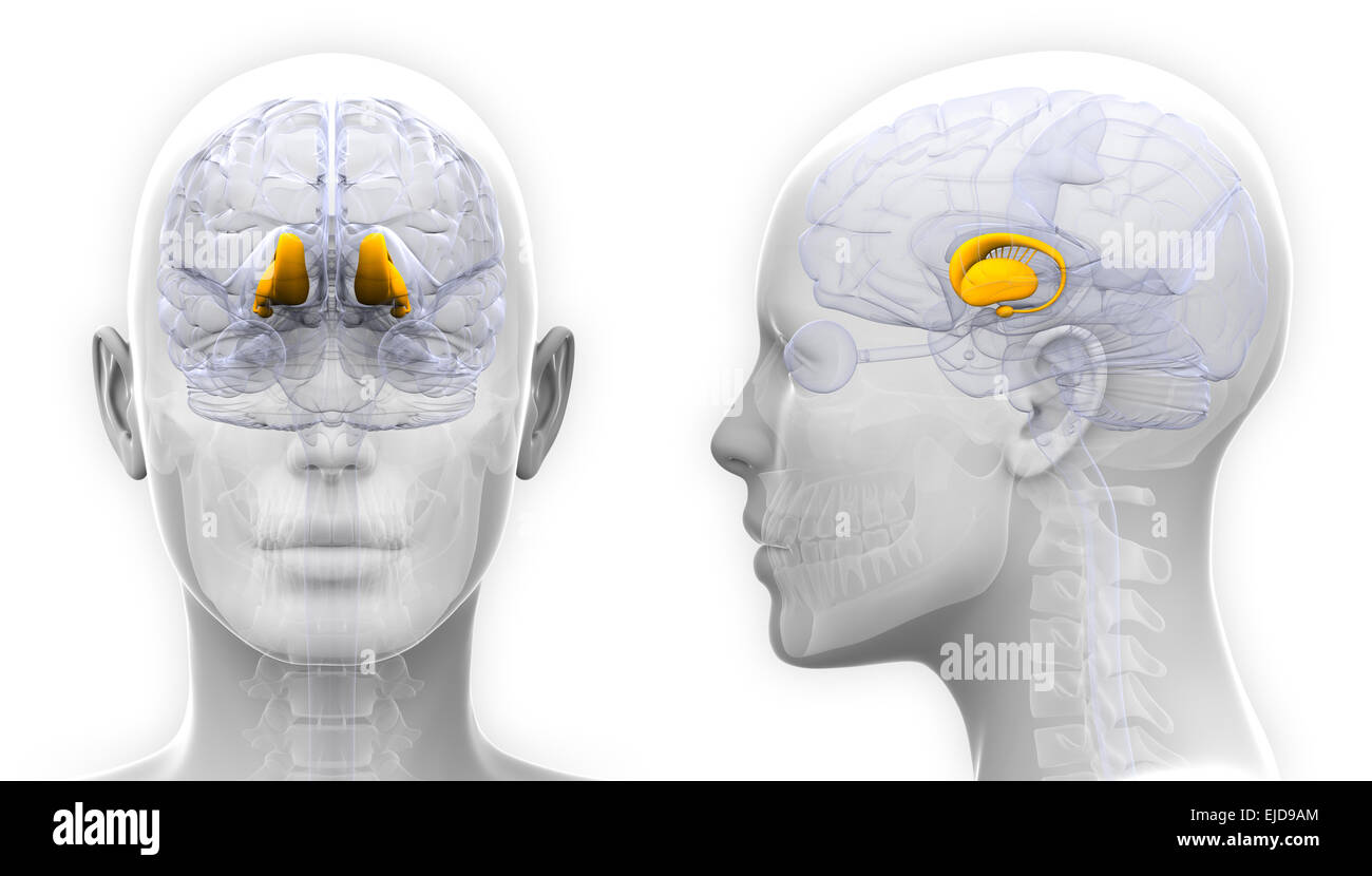Female Thalamus Brain Anatomy - isolated on white - Stock Image