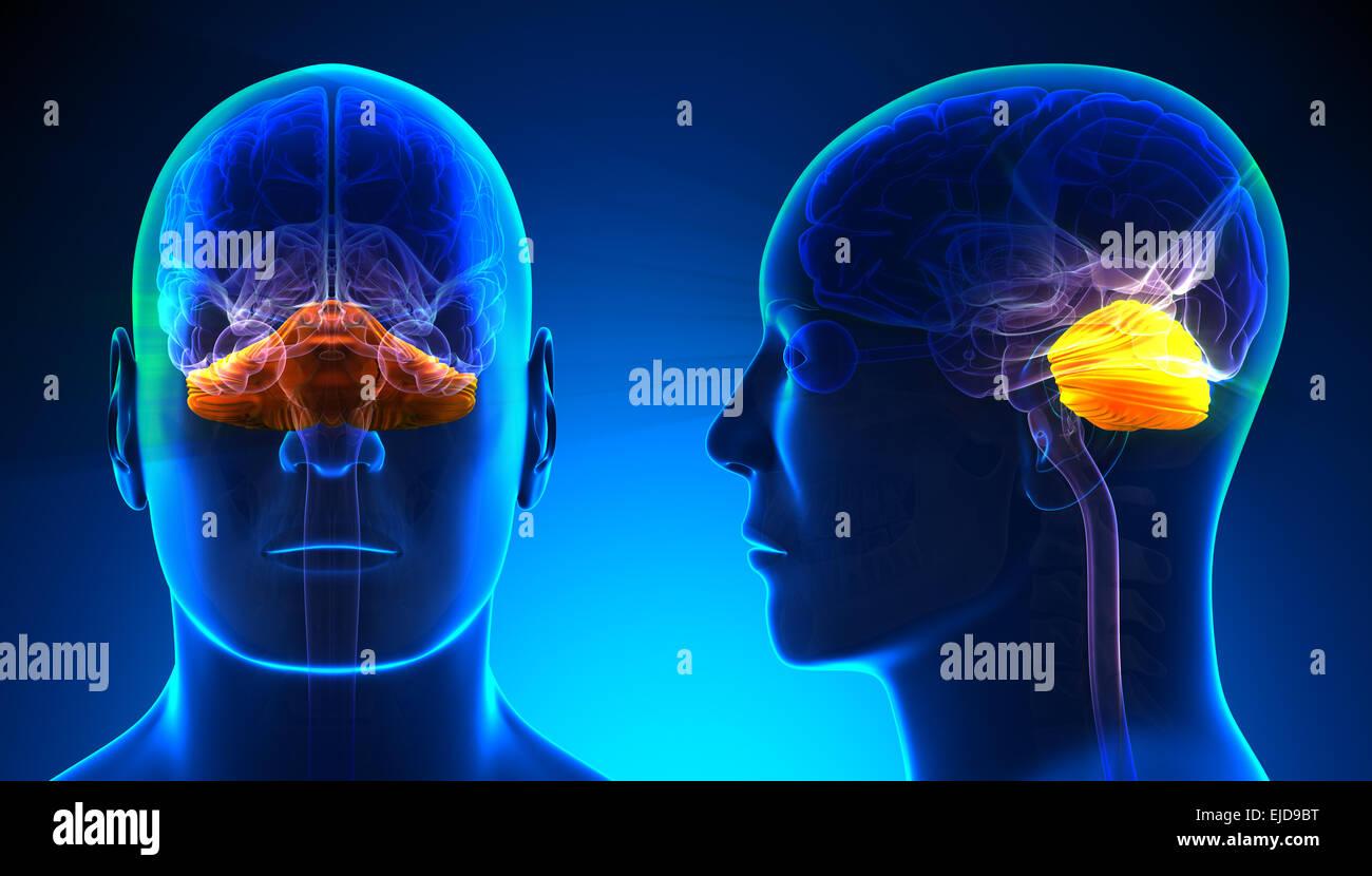 Male Cerebellum Brain Anatomy - blue concept - Stock Image