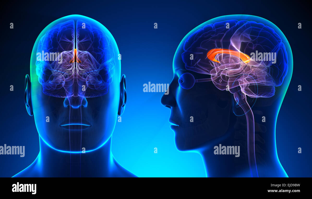 Male Corpus Callosum Brain Anatomy Blue Concept Stock Photo