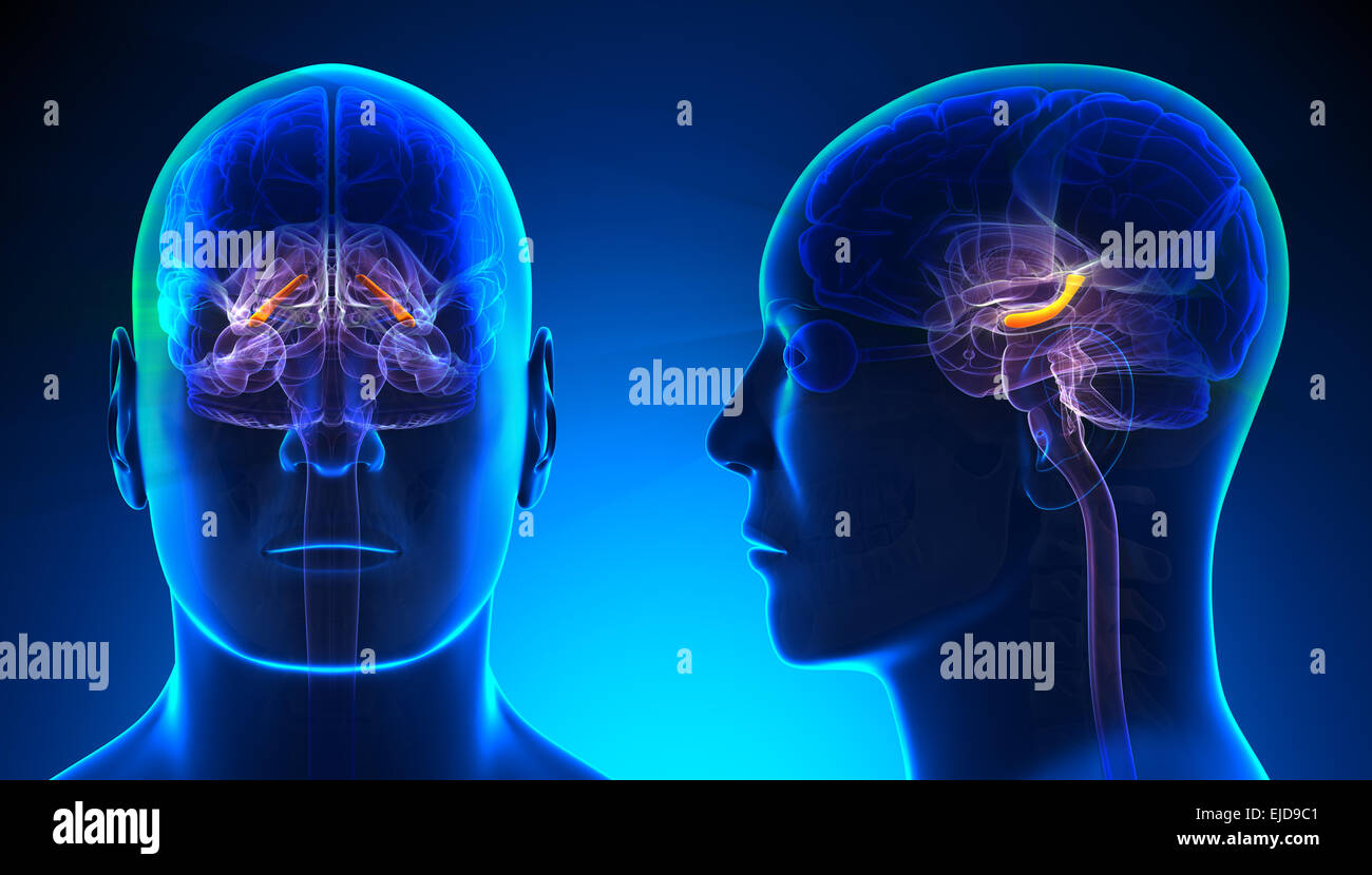 Hippocampus Brain Anatomy 3d Illustration Stock Photos & Hippocampus ...