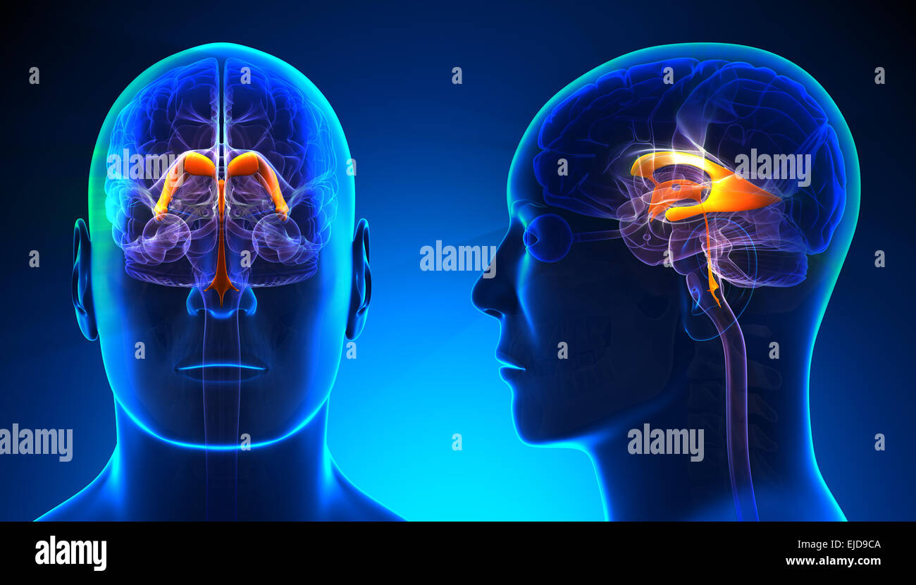 Male Thalamus Brain Anatomy - blue concept - Stock Image