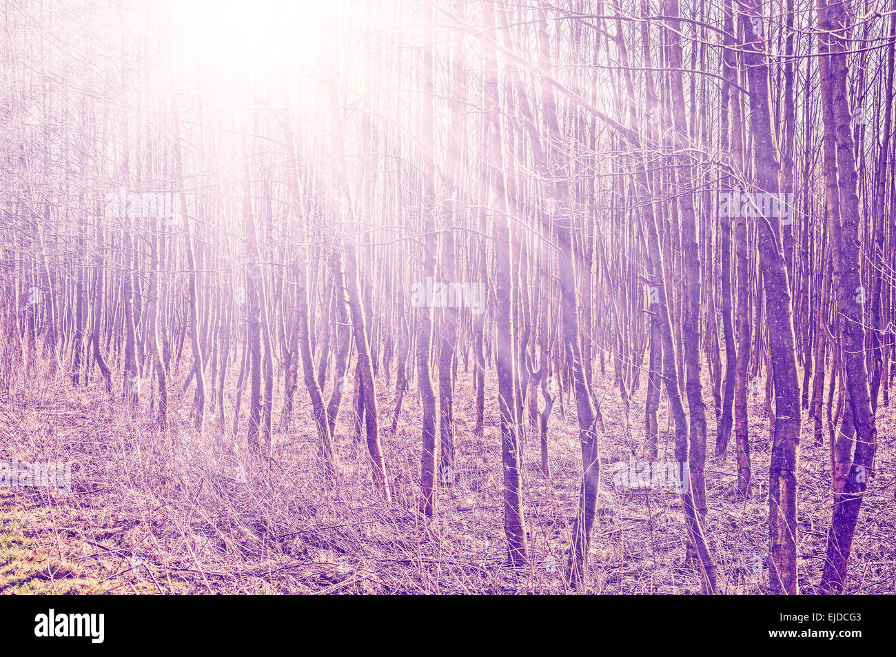 Vintage filtered photo of trees with sun beams. - Stock Image