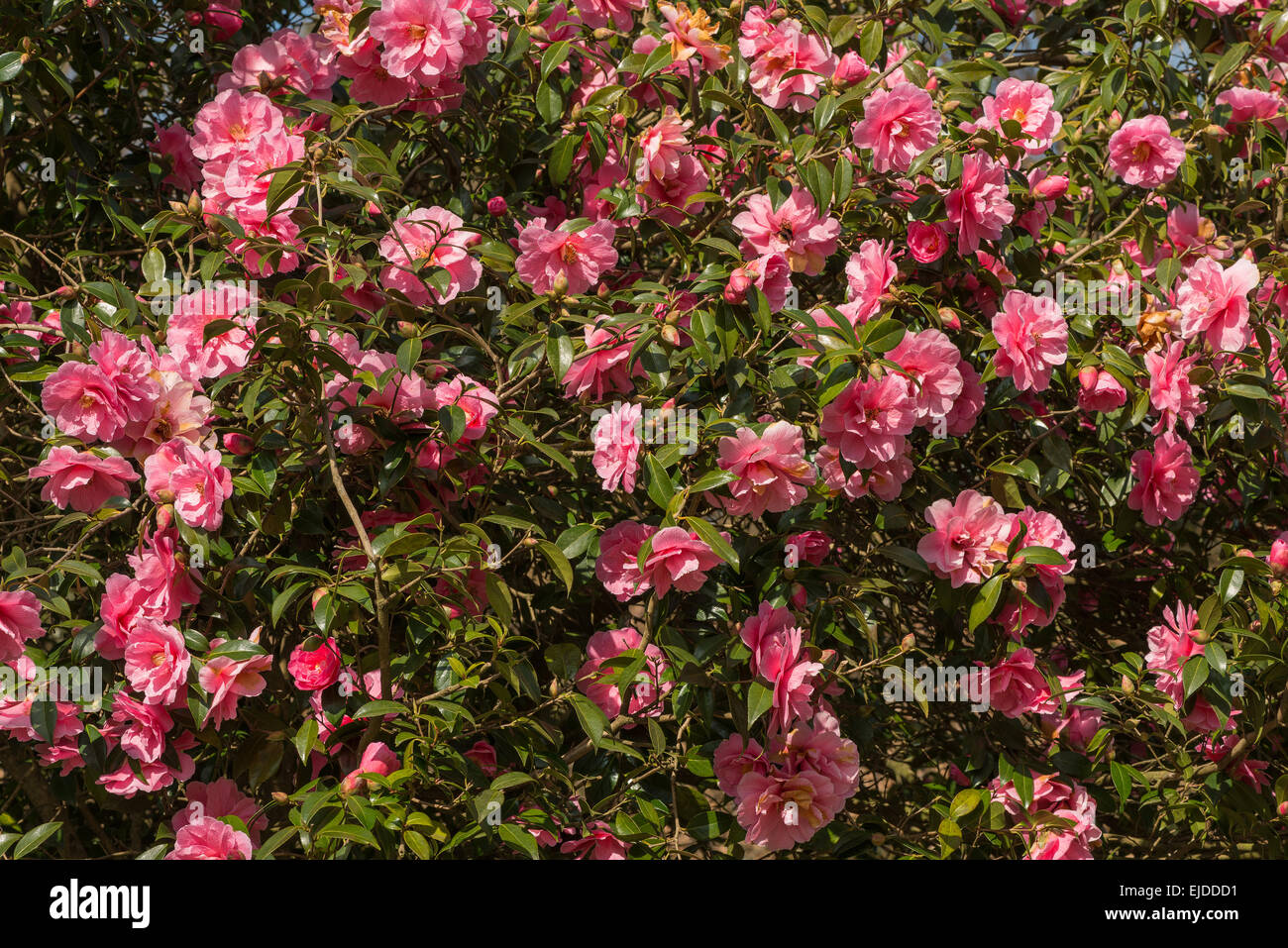 Lush deep pink flowers of camellia inspiration an evergreen shrub lush deep pink flowers of camellia inspiration an evergreen shrub mightylinksfo