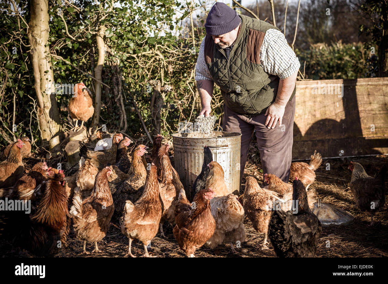 A farmer holding a feed bucket, surrounded by a flock of hungry chickens. Stock Photo