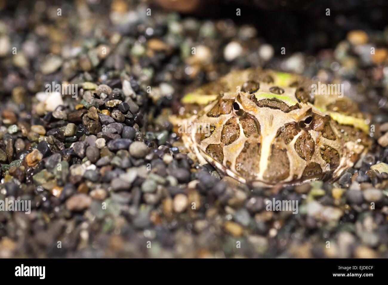 frog in natural habitat - Stock Image